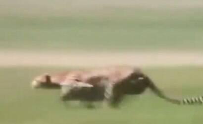 Vídeo mostra velocidade de guepardo para atacar viraliza