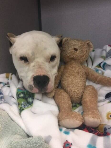 Pit Bull abraça seu ursinho de pelúcia depois de cirurgia