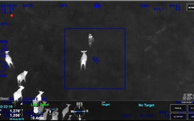 O rebanho de vacas foi essencial para ajudar a polícia a capturar a fugitiva e seus companheiros de crime