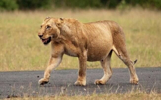 Uma leoa poderosa esperando seu filhote.
