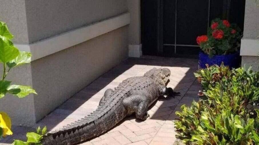 jacaré na porta de um casa na Flórida, EUA