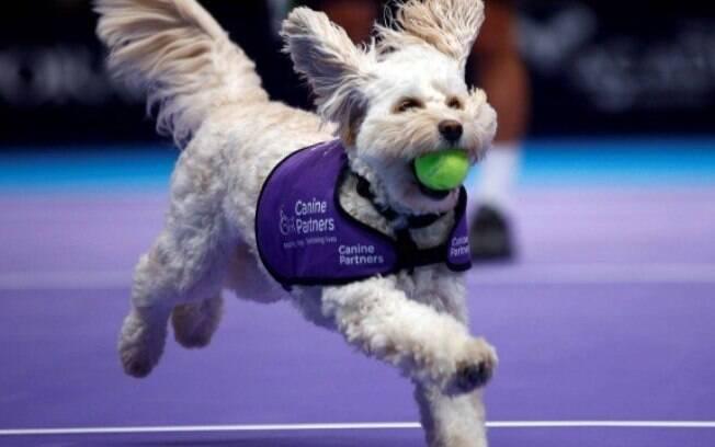Cão-guia vira boleiro em partida de tênis na Inglaterra