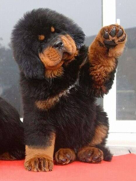 Super fofos: cães que mais parecem ser ursos de pelúcia!