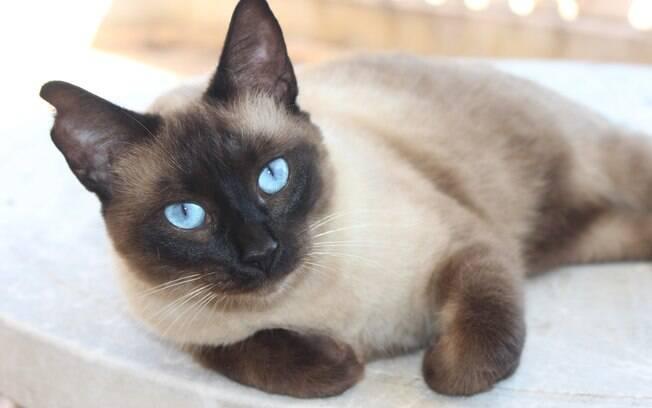Das variadas raças de gatos, o siamês é conhecido pela cor de sua pelagem