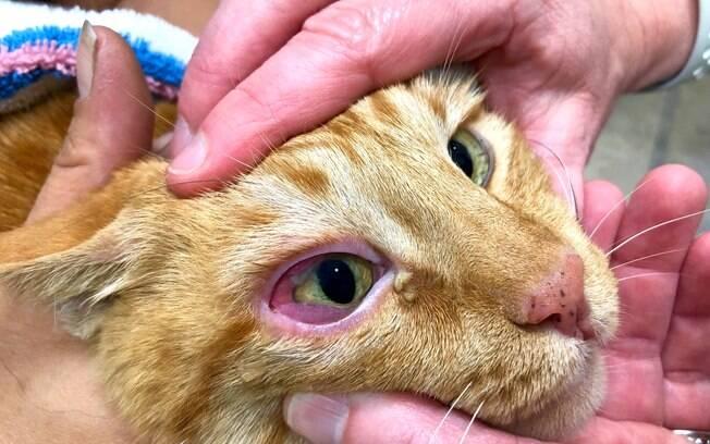Ao contrário de outros problemas de saúde, gato com olhos vermelhos é uma condição facilmente detectável pelos donos