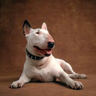 Bull Terrier - undefined