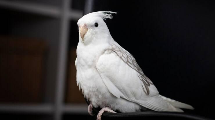 Albina Arlequim E Mais Conheca Alguns Tipos De Calopsita Especiais Ig