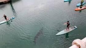 Tubarão-elefante interrompe aula de stand-up paddle
