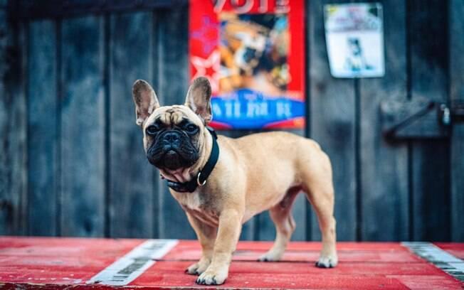 Este é Wilbur, o buldogue francês eleito prefeito de Rabbit Hash