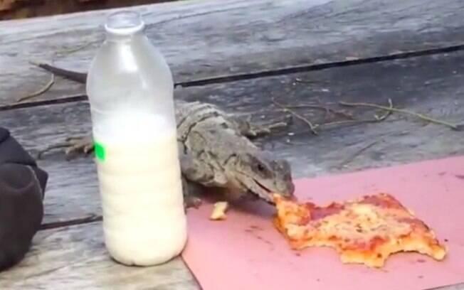 Pega no flagra, iguana roubou pedaço de pizza e, sem nenhuma vergonha, fugiu