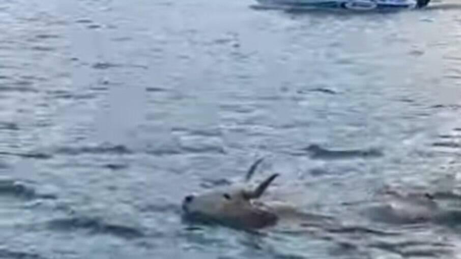 Boi nadando em mar de Santa Catarina