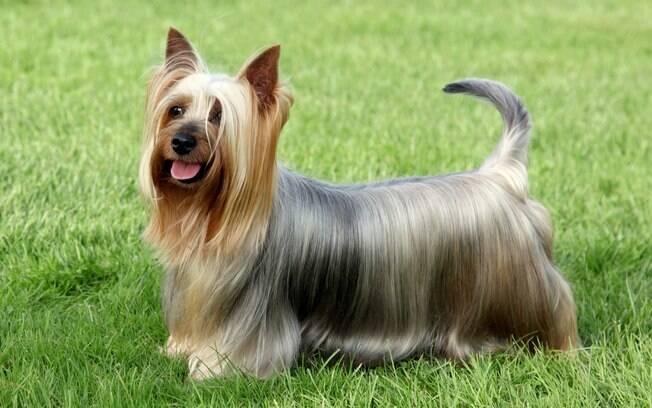 O silky terrier faz parte das raças do Grupo Toy