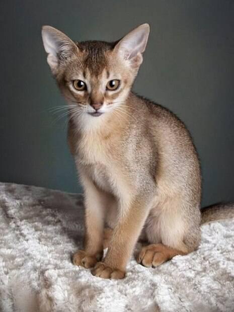 Essas raças de gatos são tão pequenas que derretem o coração de qualquer um