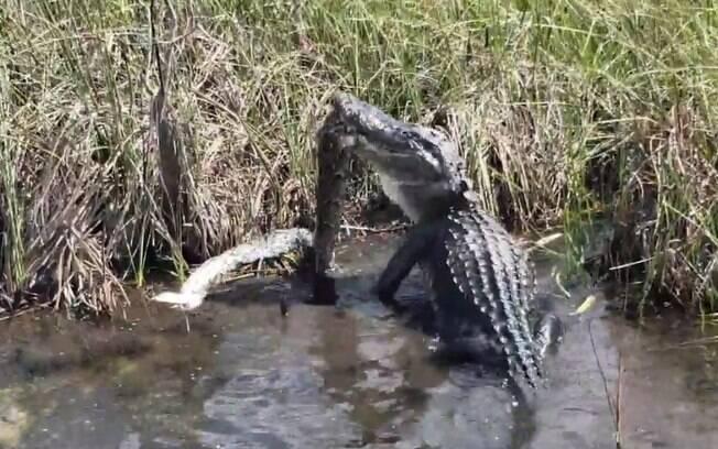 Americano flagrou Jacaré engolir cobra  de três metros de comprimento em parque na Flórida