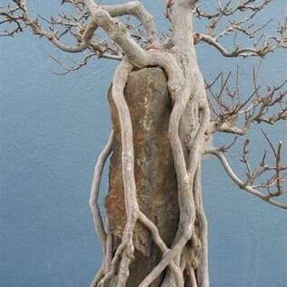 Alguns bonsais podem ter mais de 200 anos
