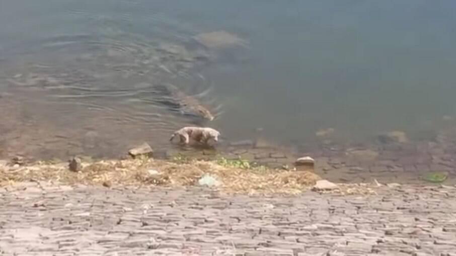 Indefeso cachorro passeava próximo a um rio, quando foi surpreendido por um crocodilo