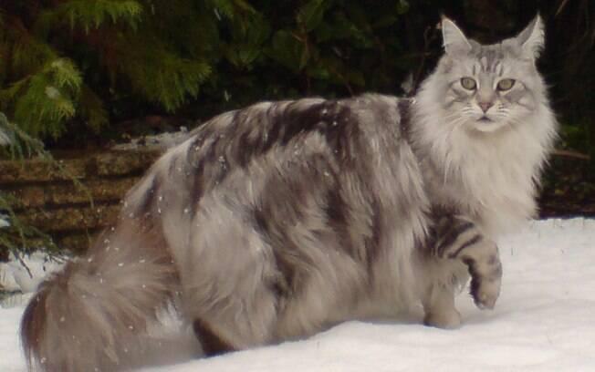 Mesmo fazendo parte das raças gigantes, os Maine Coon são boas opções de gatos para apartamento