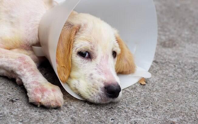 Cão com dermatite canina usa cone para evitar machucados derivados da coceira excessiva