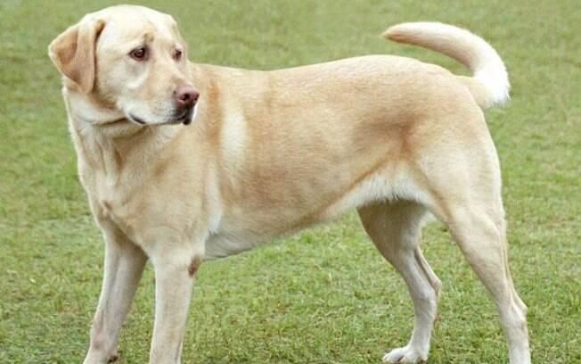 O Labrador Retriever além de inteligente é muito dócil e amoroso