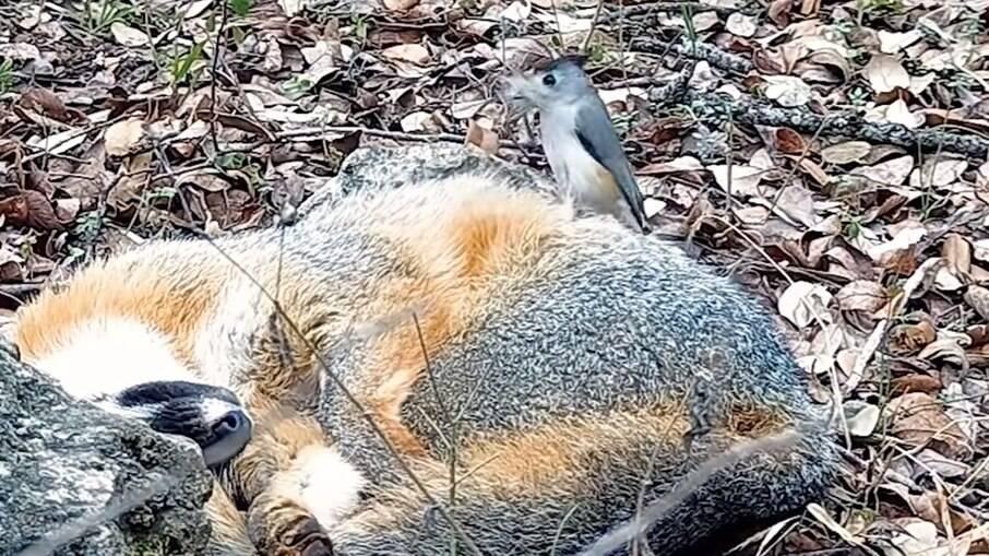 A pequena ave corajosa se arrisca para pegar pelos da raposa, que usará na construção do ninho