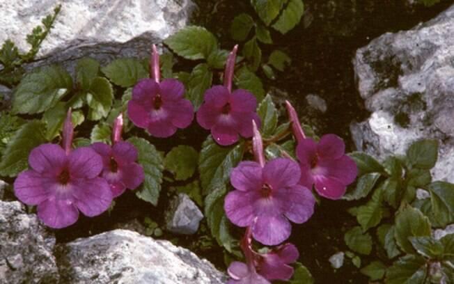 flores de jardim resistentes ao frioVioletapendente (Achimenes