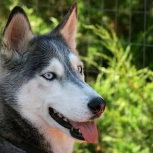 Husky Siberiano - undefined