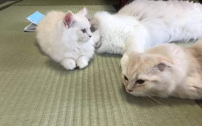 Pousada japonesa oferece gatos como companhia para hóspedes