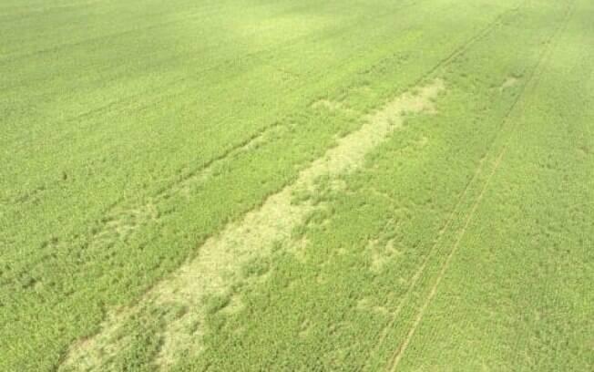 Faixa de plantação destruida pela passagem de um bando de javaporcos