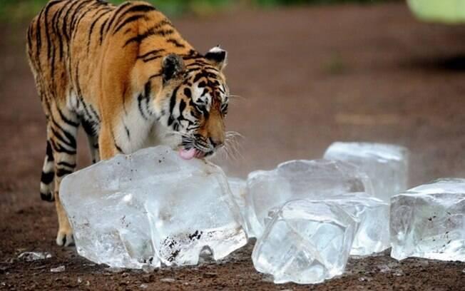 Um tigre lambendo gelo.