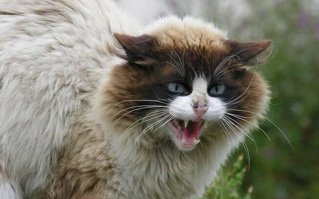 A raiva está entre as doenças de gatos