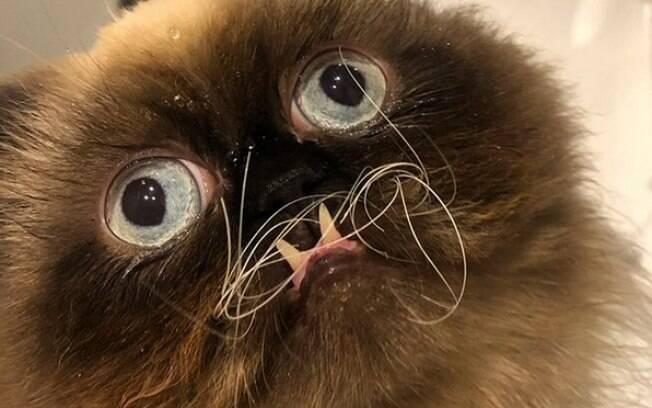 Gato persa de aparência peculiar conquista usuários do Instagram