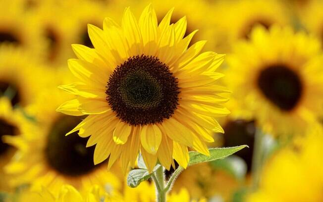 Simpatias com flores amarelas para atrair amor e dinheiro em 2021