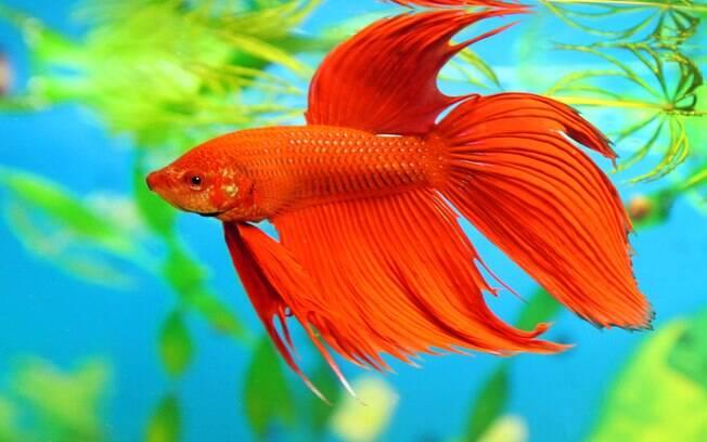 O peixe betta é famoso por ser um animal barato, fácil de cuidar e de baixa manutenção