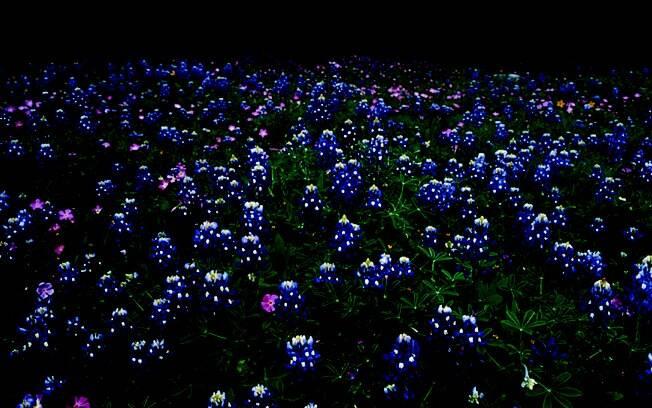 Bluebonnets é uma planta típica da região