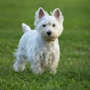 West Highland White Terrier - undefined