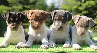 Fox Paulistinha é um dos únicos cães legitimamente brasileiros; conheça