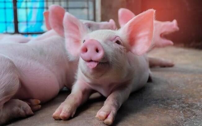 Cérebros dos porcos receberam o coquetel restaurador por um período de seis horas