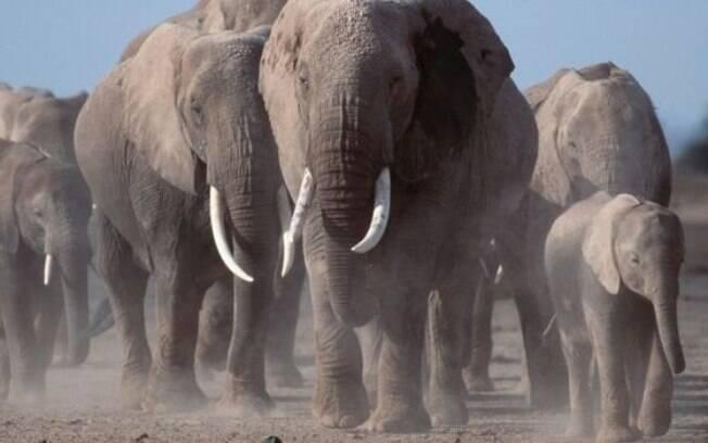 Os elefantes podem ter conseguido atingir suas grandes proporções justamente por causa do gene que combate o câncer