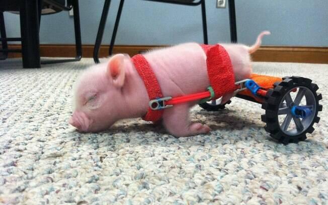 Conheça Chris, porquinho de cadeira de rodas sensação na web