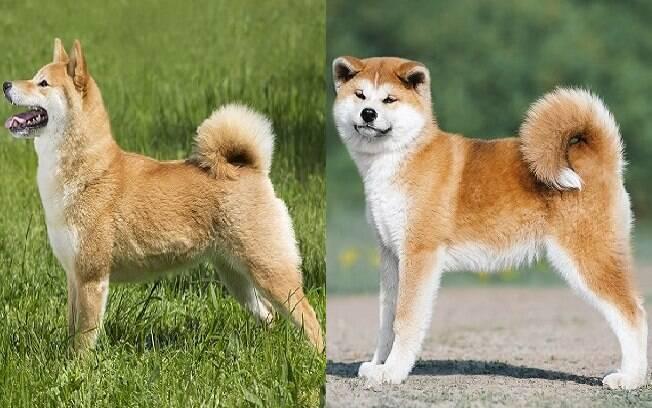 A principal diferença ente Shiba e Akita é o tamanho dos dois