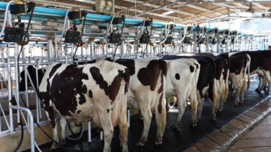 Gado Holandês é a base da pecuária nacional, mas raças com menor volume e maior quantidade de sólidos no leite vêm conquistando mercado.