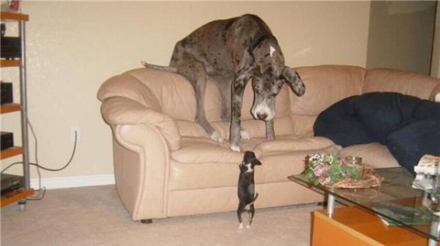 Cães maiores não necessariamente dão mais trabalho que cães de menor porte