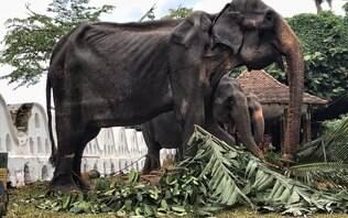 Pele e osso! Magreza extrema de elefante é denunciada por ONG no Sri Lanka