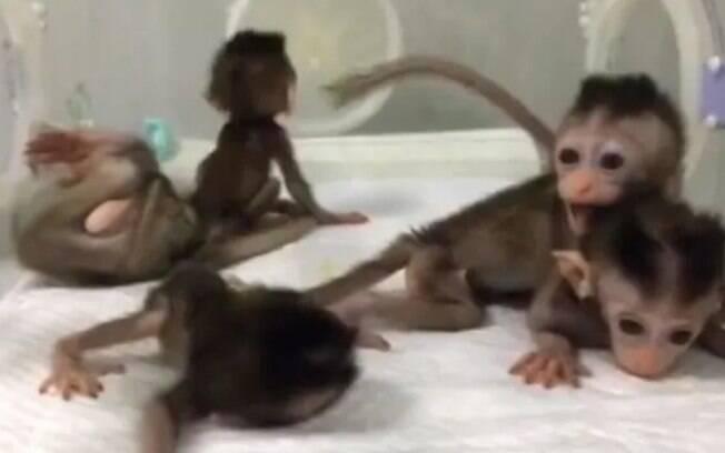 Experimento chinês causou controvérsia ao implementar genes humanos em macacos