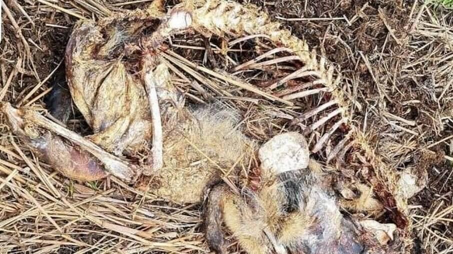 Carcaça de animal encontrado morto em fazenda no Pantanal de MS