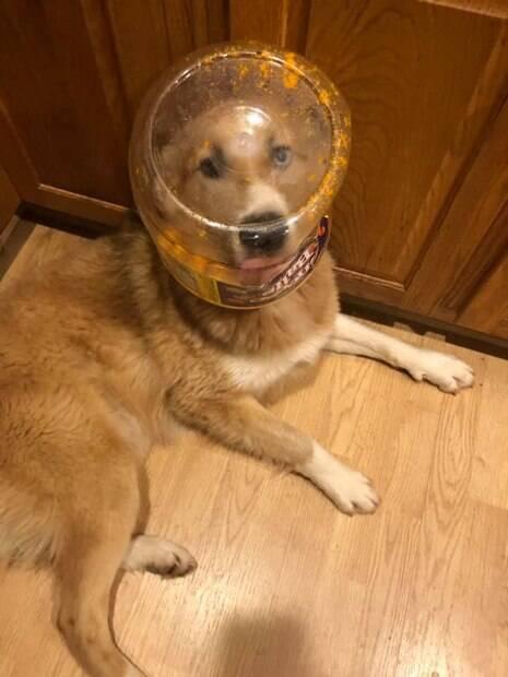 Cachorro desastrado com pote preso na cabeça