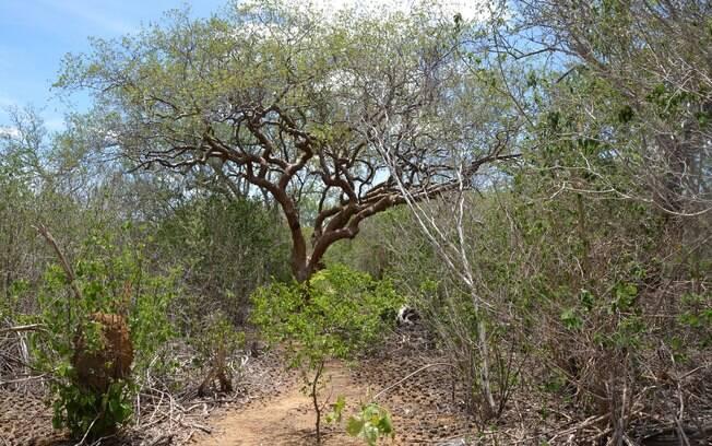 Árvore de umburana, planta da Caatinga pode ser usada no combate ao mosquito Aedes aegypt