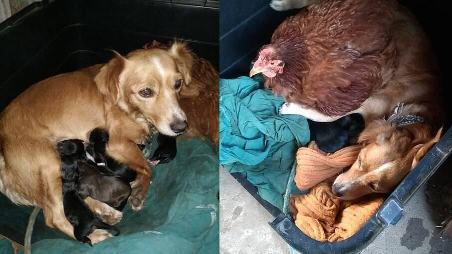 Mel e sua parceira galinha aquecem os filhotes nos dias frios de inverno