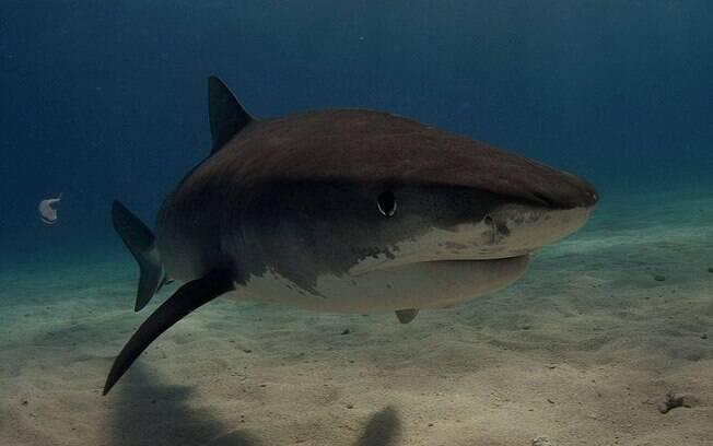 O tubarão-tigre é um dos principais responsáveis pelos ataques em Recife.