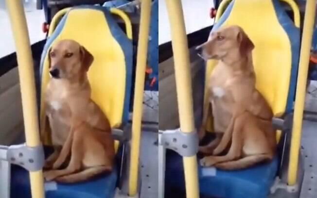 Cachorro andando de ônibus viraliza